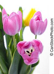 tulipany, biały, delikatny, odizolowany