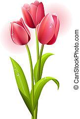 tulipany, biały, trzy, tło, odizolowany