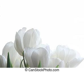 tulipany, biały