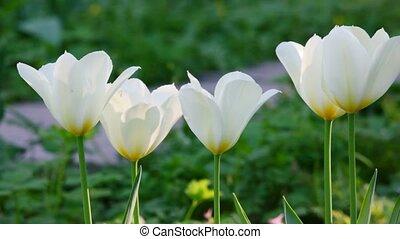 tulipany, park