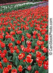 tulipany, w, wiosna