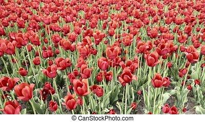 tulipany, wiatr, czerwony, kołysząc