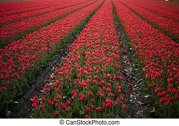 tulipany, wielobarwny