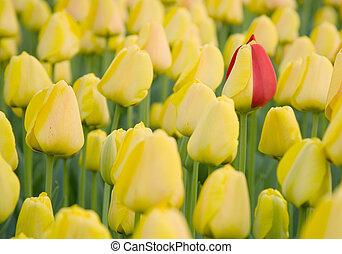 tulipe, être, unique!, jaune, pétales, ceux, champ, rouges