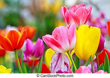 tulipe, beau