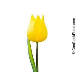 tulipe, blanc, isolé, arrière-plan.