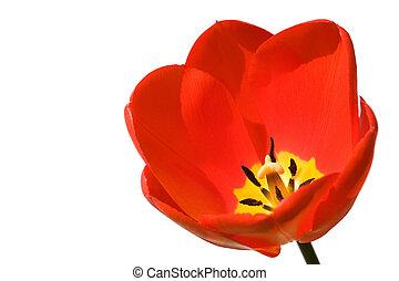 tulipe, blanc, isolé