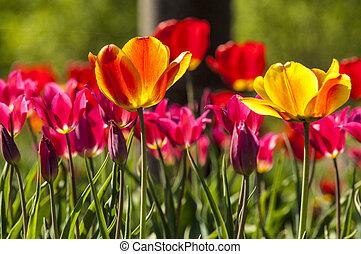 tulipe, bokeh.