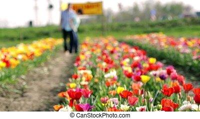 tulipe, couple, champ