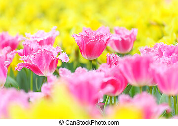 tulipe, fleur, champ