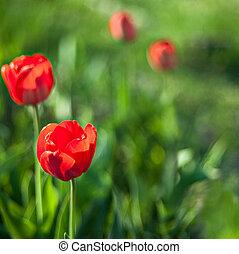 tulipe, fleur, dans, fleur pleine
