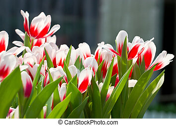 tulipe, fleurs blanches, rouges