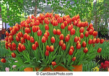 tulipe, fleurs, jardin