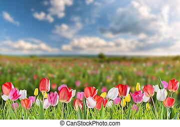 tulipe, fleurs, pré