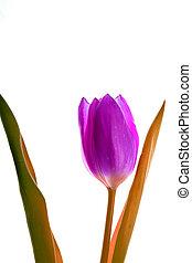 tulipe, fuschia