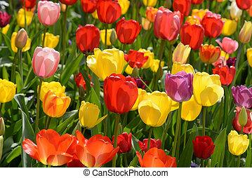 tulipe, jardin