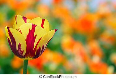 tulipe, jaune