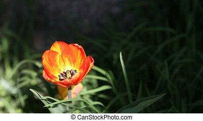 tulipe, jaune rouge