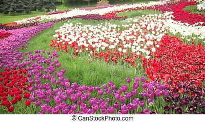 tulipe, multicolore, champ