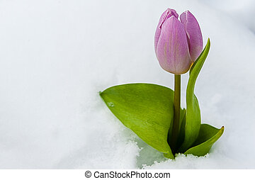 tulipe, neige