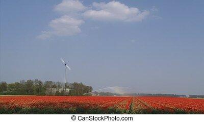 tulipe, noordoostpolder, champ