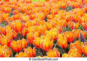 tulipe orange, fleurs