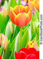 tulipe orange, rouges