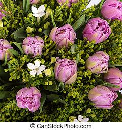 tulipe, pourpre