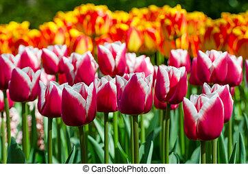 tulipe rouge, dans, hollandais, printemps, jardin, keukenhof