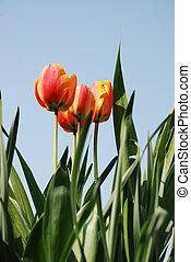 tulipe rouge