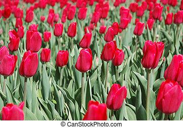 tulipe, rouges, champ