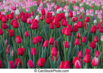tulipe, rouges