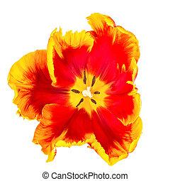 tulipe, sommet, blanc, perroquet, vue