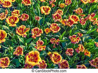 tulipe, sommet, fleurs, vue