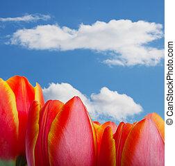 tulipe, sommets