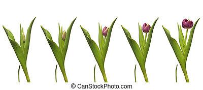 tulipe, unique, chronocinématographie