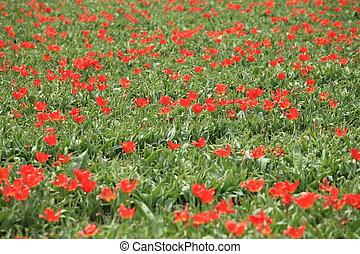 tulipes, 17
