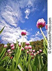 tulipes, angle, large