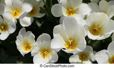 tulipes, blanc, au-dessus, vu