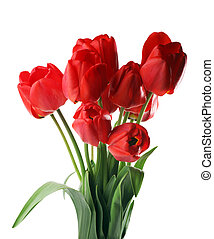 tulipes, blanc, isolé