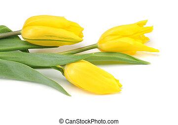 tulipes, blanc, isolé, jaune