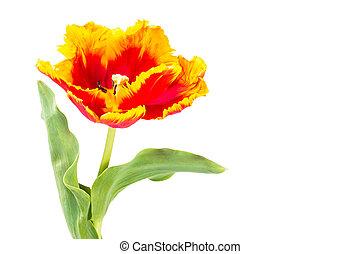 tulipes, blanc, isolé, perroquet