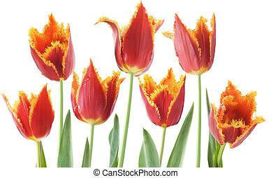 tulipes, blanc rouge, fond