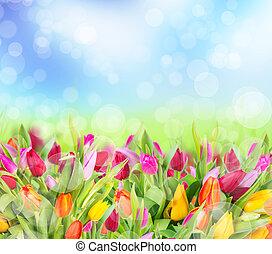 tulipes, champ, beau