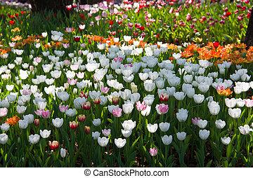 tulipes, champ