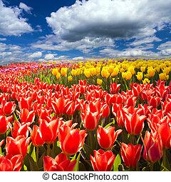 tulipes, champ, printemps