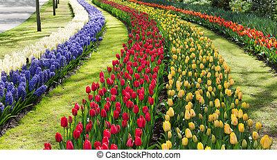tulipes, dans, les, keukenhof, park., holland.