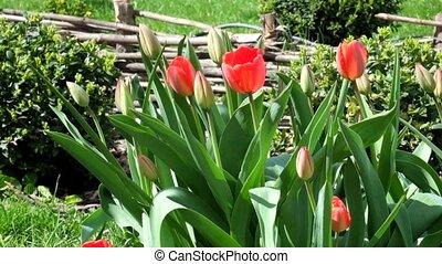 tulipes, doucement, (tulipa), rouges, balançoire, vent
