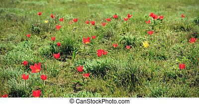 tulipes, fleur, désert, coloré