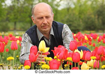 tulipes, floraison, homme mûr